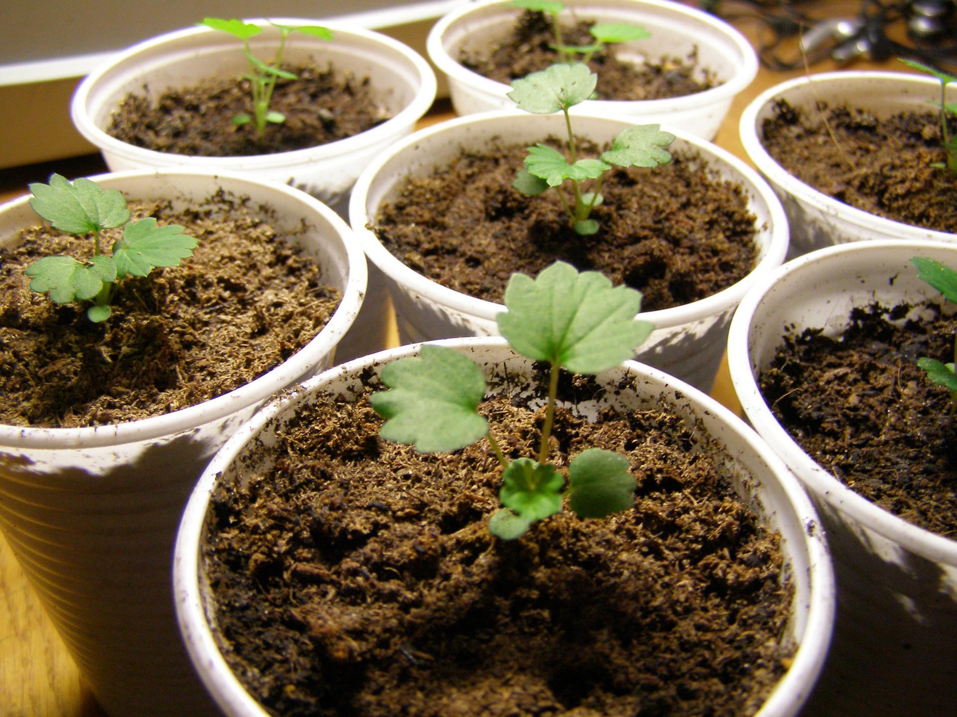 Как правильно посадить землянику на рассаду из семян 74