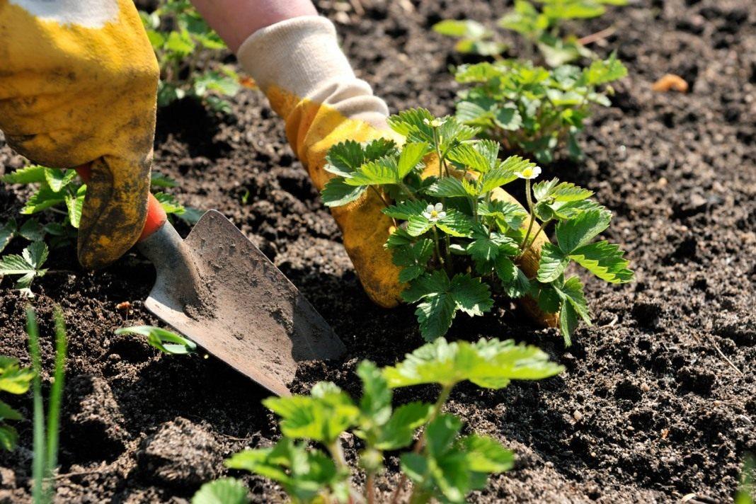 Как правильно посадить землянику на рассаду из семян?
