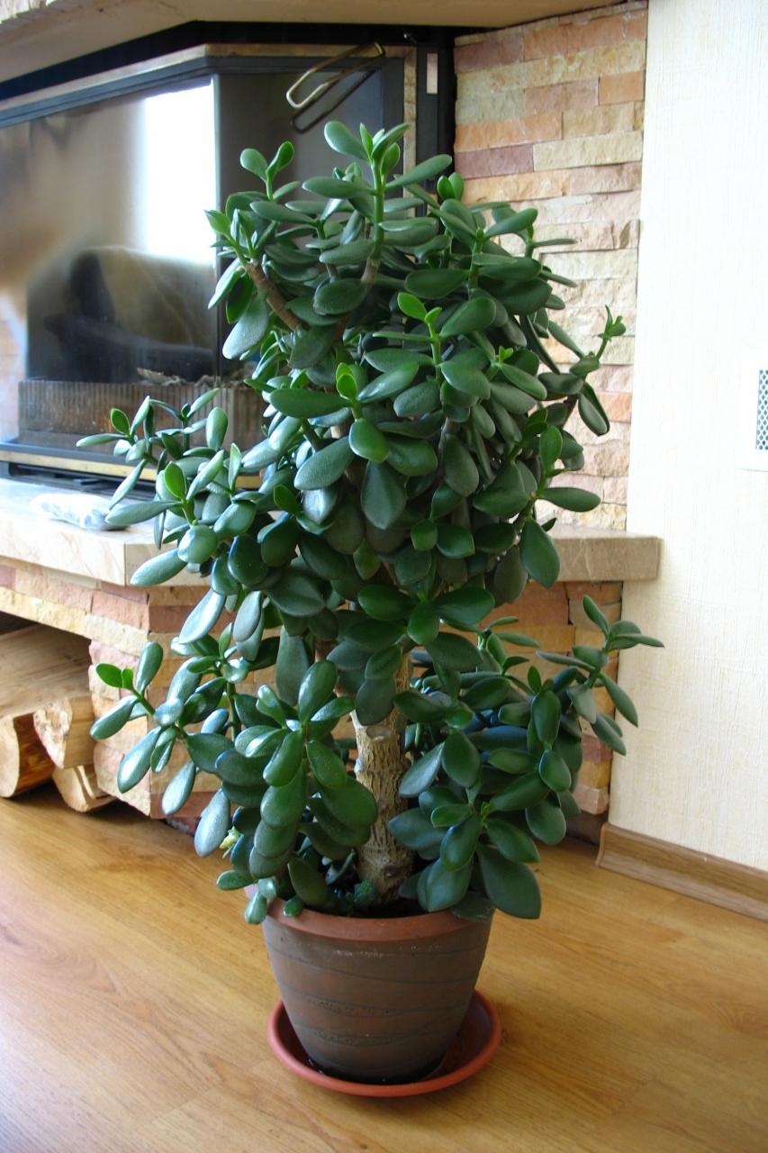 Как ухаживать за денежным деревом в домашних условиях?